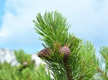 Branch with cone. Pinus mugo. Known as mountain pine, dwarf mountain pine, scrub mountain pine Stock Photo