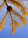 Branch with cone and yellow needles. Branch of a larch with cone and yellow needles Stock Photo