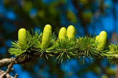 Branch With Cones Stock Photo