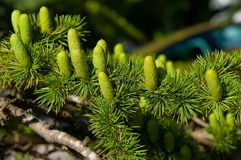 Branch With Cones Stock Photos