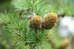 Branch with cones Stock Image