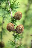 Branch with cones Royalty Free Stock Photos