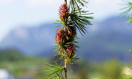 Branch with cones. Larix leptolepis, Ovulate cones of larch tree, spring. Stock Photo