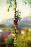 Branch with cones. Larix leptolepis, Ovulate cones Stock Image