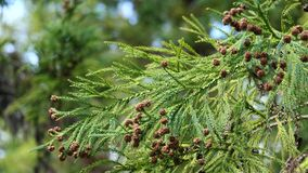 Branch and cones of Sugi tree Cryptomeria Japonica in moderate wind. Branch and small cones of coniferous Sugi tree Cryptomeria Japonica, also called Japanese stock video