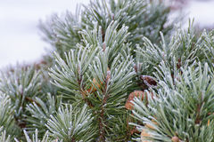 Branch of a conifer Stock Images