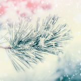 Branch of coniferous tree : cedar or fir covered with hoarfrost and snow at winter day background. Stock Image