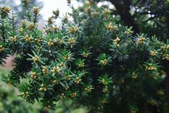 Branch of coniferous tree. Close up. royalty free stock photography