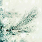 Branch of coniferous tree covered with hoarfrost and snow at winter day Stock Photos