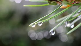 Branch of a coniferous tree with drops of water. Branch of a coniferous tree with drops of rain stock image