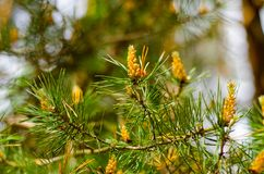 Pine branch with young cones stock photo
