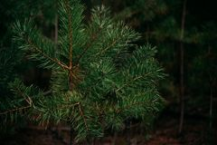 Branch of coniferous tree. Prickly needles of a coniferous tree as a natural background Royalty Free Stock Photo