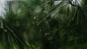 Branch of a coniferous tree with raindrops stock video