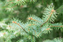 Branch of coniferous tree Stock Images
