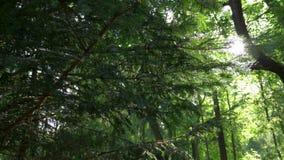 Branch coniferous tree, sun glare stock video