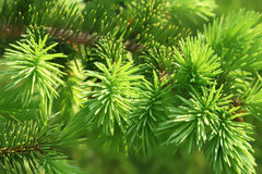 Branch of a coniferous tree Stock Image