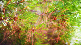 branch of a coniferous tree Royalty Free Stock Photography