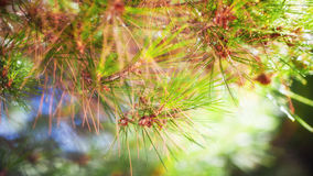 branch of a coniferous tree Stock Photo