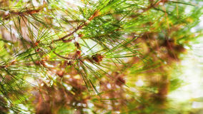branch of a coniferous tree Stock Photography