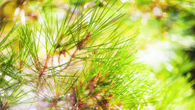 branch of a coniferous tree Royalty Free Stock Photos