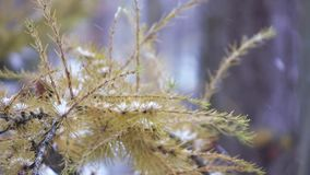 Branch of a coniferous tree in winter stock video footage