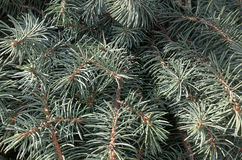 Branch of conifers Royalty Free Stock Photos