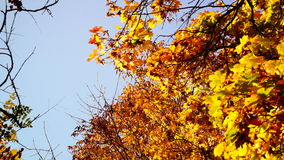 Branch with coppery and golden leaves falling down in October sun stock footage