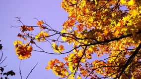 Branch with coppery leaves in breeze and October sun stock video footage