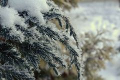 Branch of the Cossack juniper winter frosty morning in the snow. Snow-covered branches of the Cossack juniper on a cold winter morning Stock Photo