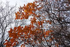 Branch of Cotinus coggygria with autumn leafage. Branch of Cotinus coggygria with bright autumn leafage Stock Images
