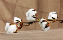 Branch of cotton Stock Photos