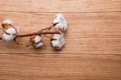 A branch of cotton on a wooden table stock photography