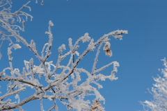 Branch covered with frost. Branch covered with frost against a blue sky Stock Photography