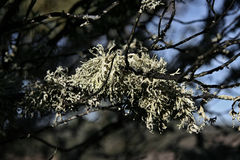 Branch  covered with hanging lichen Royalty Free Stock Photo