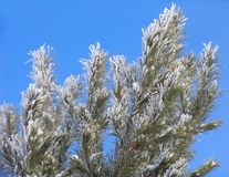 Branch  covered with hoar-frost. Branch of Pinus silvestris covered with hoar-frost Royalty Free Stock Photography