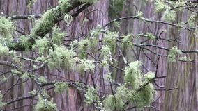 A branch covered in lichen in front of the trunks of other trees. This region of Australia, sustains an indigenous ecology named `dry rainforest`, that is World stock footage