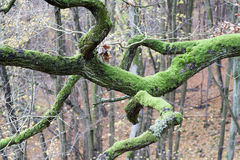 Branch covered with moss Royalty Free Stock Images