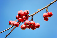 A branch of crab apple tree with bunch of fruits. A branch of crab apple tree with bunch of ripe red fruits against a clear blue sky Stock Images