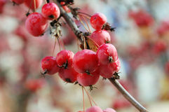 A branch of crab apple tree with bunch of fruits. A branch of crab apple tree with bunch of ripe red fruits on a blurry background royalty free stock photography
