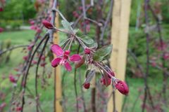 Branch of crabapple cultivar Royal Beauty with purple leaves and deep pink flowers in spring. Branch of crab apple cultivar Royal Beauty with purple leaves and stock photo
