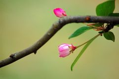 Crab apple flowers. A branch of crabapple flower buds in spring stock image