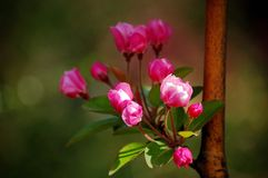 Crabapple flowers. A branch of crabapple flowers booming in spring stock photo