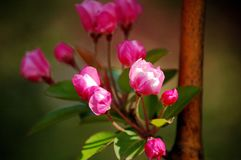 Crabapple flowers. A branch of crabapple flowers booming in spring stock photography