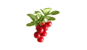 Branch cranberries on a white background Stock Photo