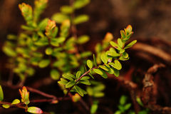 The branch of cranberry isolated. On background Stock Images