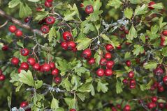 Branch of Crataegus monogyna plant. Branch with fruit of Crataegus monogyna plant Stock Photo