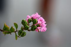 Branch of Crepe Myrtle or Lagerstroemia indica plant with closed flower buds mixed with fully open blooming light pink flowers. Branch of Crepe Myrtle or royalty free stock image