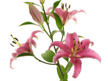 Branch with crimson lilies Stock Images