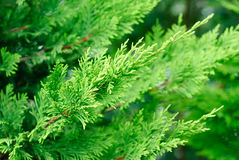 Branch cupressocyparis  Leylandii  green  background Stock Image