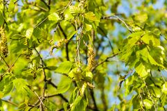 Branch of the curly birch Betula pendula var. carelica with earrings. In spring stock images